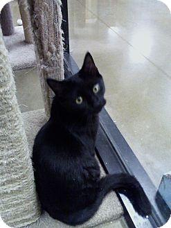 Domestic Shorthair Cat for adoption in Irwin, Pennsylvania - PJ