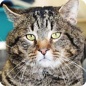 Domestic Mediumhair Cat for adoption in Kalamazoo, Michigan - Ice Tea