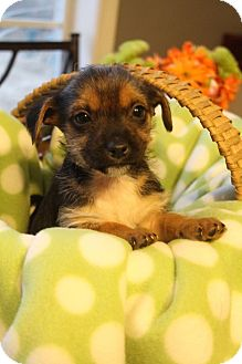 Yorkie, Yorkshire Terrier/Dachshund Mix Puppy for adoption in Allentown, Pennsylvania - Finz