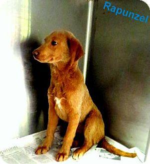 Golden Retriever Mix Puppy for adoption in Georgetown, South Carolina - Rapunzel