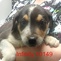 Adopt A Pet :: Infinity - Greencastle, NC