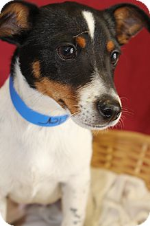 Fox Terrier (Smooth) Mix Dog for adoption in Waldorf, Maryland - Fender