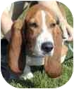 Basset Hound Dog for adoption in Portsmouth, Rhode Island - Stella
