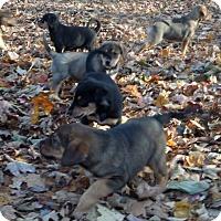 Adopt A Pet :: PUPPIES - Rigaud, QC