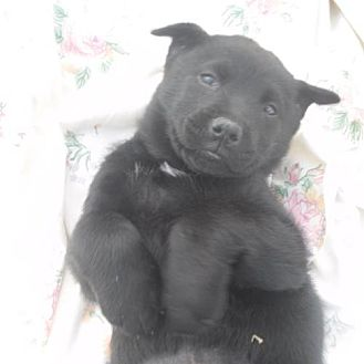 Labrador Retriever/Chow Chow Mix Puppy for adoption in Manhattan, New York - Paisley