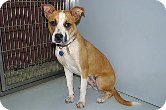 Boxer Mix Dog for adoption in Ruidoso, New Mexico - Bella