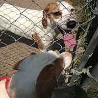 Hound (Unknown Type) Mix Dog for adoption in Summerville, South Carolina - Sugar