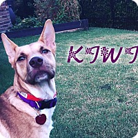 Adopt A Pet :: Kiwi (fostered in Dallas TX) - Cranston, RI