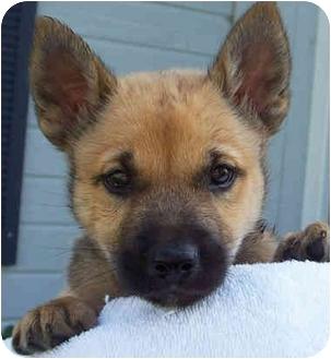 Shepherd (Unknown Type) Mix Puppy for adoption in Overland Park, Kansas - Jefferson