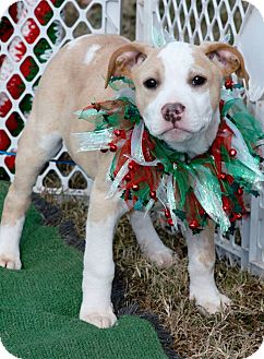 Pit Bull Terrier Mix Puppy for adoption in East Hartford, Connecticut - Poe in CT