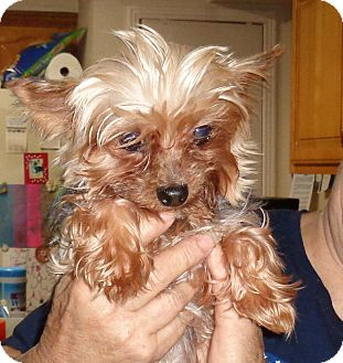 Yorkie, Yorkshire Terrier Dog for adoption in Crump, Tennessee - sampson