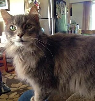 Domestic Mediumhair Cat for adoption in Richmond Hill, Ontario - Gellie