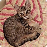 Adopt A Pet :: Linus - Garland, TX