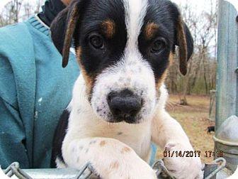 Labrador Retriever/Bernese Mountain Dog Mix Puppy for adoption in Portland, Maine - BLUE