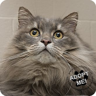 Domestic Longhair Cat for adoption in Troy, Ohio - Miss Kitty