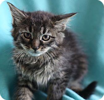 Maine Coon Kitten for adoption in Hagerstown, Maryland - Azalea