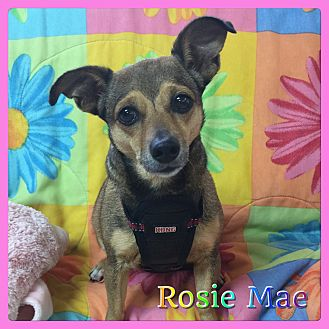 Dachshund/Chihuahua Mix Dog for adoption in Hollywood, Florida - Rosie Mae