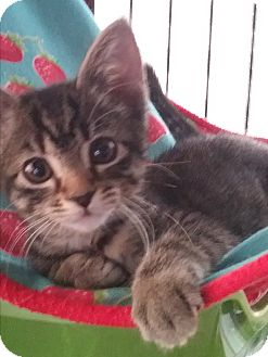 Domestic Shorthair Kitten for adoption in Glendale, Arizona - Violet