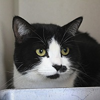 Domestic Shorthair Cat for adoption in Canyon Country, California - Moose