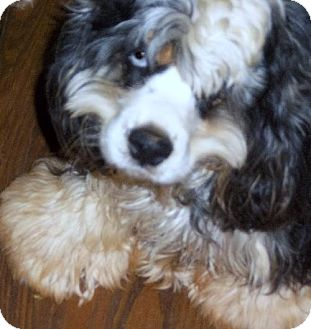 Cocker Spaniel Dog for adoption in Anderson, South Carolina - Grissly