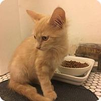 Adopt A Pet :: Kitten Taurasi - Whitewater, WI