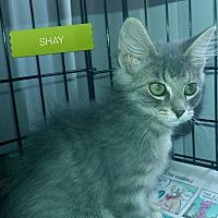 Adopt A Pet :: Shay - Irwin, PA