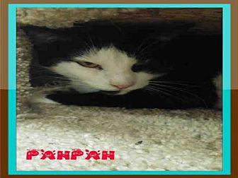 Domestic Mediumhair Cat for adoption in Fort Walton Beach, Florida - PANPAN