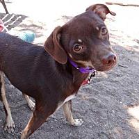 Adopt A Pet :: Hazel - Seal Beach, CA
