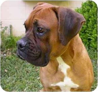 Boxer Dog for adoption in Navarre, Florida - Yubaba