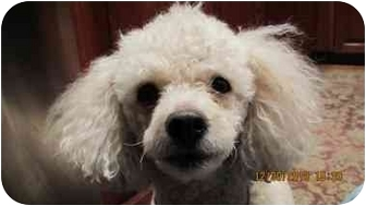 Poodle (Miniature) Dog for adoption in Essex Junction, Vermont - Prince