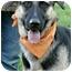 Photo 4 - German Shepherd Dog/Anatolian Shepherd Mix Dog for adoption in Sacramento, California - Bella superrrr