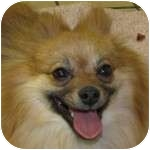 Pomeranian Mix Dog for adoption in Eatontown, New Jersey - CoCo