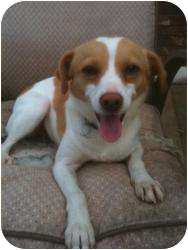 Jack Russell Terrier Mix Dog for adoption in Cranford, New Jersey - Summer