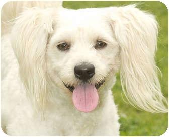 Poodle (Miniature) Dog for adoption in Marina del Rey, California - Dewey