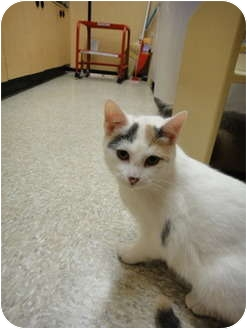 Turkish Van Cat for adoption in Howell, New Jersey - Tulip