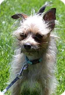 Yorkie, Yorkshire Terrier Mix Dog for adoption in Simi Valley, California - Robbie