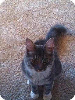 Maine Coon Kitten for adoption in Arlington, Virginia - Sam