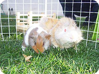 Guinea Pig for adoption in Fullerton, California - Moriko and Anzan