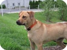 Labrador Retriever Mix Dog for adoption in Lewisville, Indiana - Logan