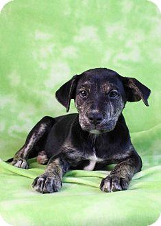 Catahoula Leopard Dog/Labrador Retriever Mix Puppy for adoption in Westminster, Colorado - Java