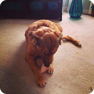 Golden Retriever/Chow Chow Mix Dog for adoption in Alliance, Nebraska - Dakota