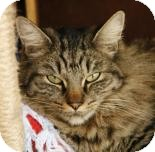 Domestic Shorthair Cat for adoption in Mountain Center, California - Beyonce