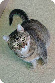 Domestic Shorthair Cat for adoption in Brookings, South Dakota - Sinatra