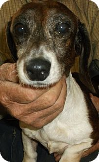 Dachshund Dog for adoption in Georgetown, Kentucky - Truly