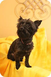 Schnauzer (Miniature)/Poodle (Miniature) Mix Dog for adoption in Southington, Connecticut - YoYo