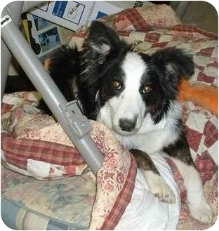 Border Collie Mix Dog for adoption in Carrollton, Texas - Jesse