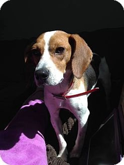 Beagle Mix Dog for adoption in Syracuse, New York - Kenny