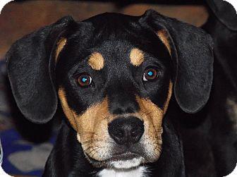 Coonhound (Unknown Type) Mix Puppy for adoption in Owatonna, Minnesota - Sadie
