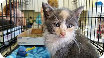 Domestic Shorthair Kitten for adoption in Randolph, New Jersey - Martha and Lexi