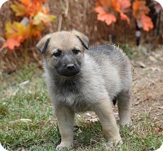 German Shepherd Dog Mix Puppy for adoption in Groton, Massachusetts - Georgia